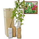 LAGERSTROEMIA INDICA Arbolito de pequeño tamaño de espectacular belleza en floración (4)