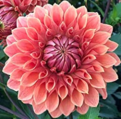 """USDA Zone: 9-12(Dahlia grow still in 7 and 8 zone,but end in winter if no greenhouse,you have to replant them in next year) Bloom Time: Summer to autumn Height Range: 8-24"""" Environment: Full Sun to Part Shade Easy to grow"""