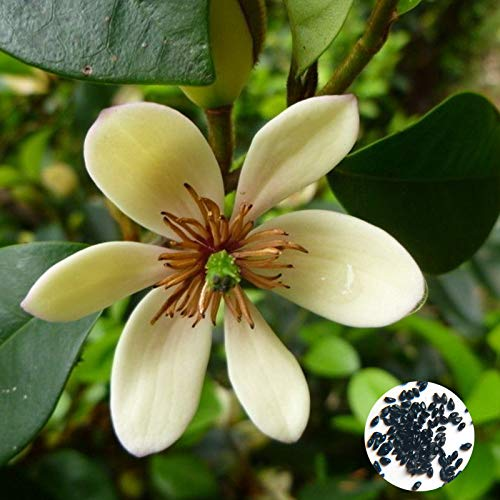 Flower Seeds50Pcs/Bag Michelia Figo Seeds Viable Bien adaptado Perenne Ornamental Bonsai Floral Semilleros para Balcón - Michelia Figo Seeds
