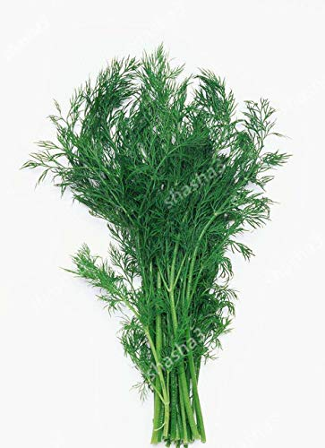 Zeit-Limit !! Herb Flores -Bouquet Dill, Küche Würzen Bonsai Pflanze DIY Hausgarten: 100