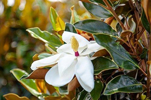 Bracken's Brown Beauty Magnolia Tree for Sale