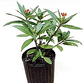 Best butterfly weed plants for sale Reviews