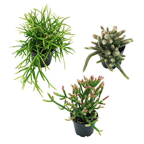 Pasiora Rhipsalis/ Korallenkaktus Mix im 6cm Topf, verschiedene kleine Pflanzen, Geschenkset für einen schattigen Standort, 3 Stück