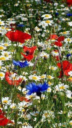 Magerwiesen-Margerite 1000 Samen+Klatschmohn 3000 Samen+Kornblume 200 Samen - Wildblumen