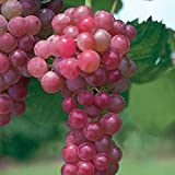 Pixies Gardens Flame Seedless Grape Vine Shrub Live Fruit Plant for Planting - Most Common Variety of Red Grapes Found in Grocery Stores Flame is Often Used for Raisins (2 Gallon Potted)