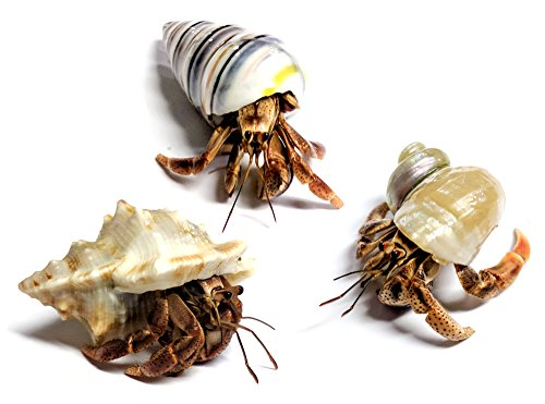 Nature Gift Store 3 Live Pet Hermit Crabs Shipped Now-Purple Pincher Land Crabs with 3 Extra Shells
