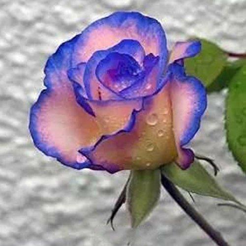 150PCS Rose Flower Seed Hollande Rose Graines amant cadeau arc-RARE 25 exotiques couleurs au choix de bricolage pour les plantes de jardin à la maison 19