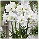 Amaryllis Bulbs-Rare green flowers, wonderful decorations and air-purifying plants, romantic floral gifts for Valentine's Day-Weiß,1 Zwiebeln