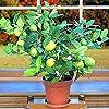 Vistaric 20pcs / sac graines de citron vert kaffir, graines de citron vert, (Citrus aurantifolia) organique Fruta Bonsai citronnier fruit en pot pour la maison jardin #1