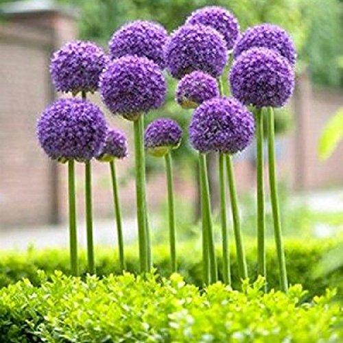Bornbayb 25 Pz Viola Allium Giganteum Semi di piante ornamentali Semi Giardino pianta regalo