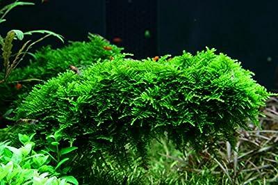 Tropica Aquarium Pflanze Moos Vesicularia dubyana 'Christmas Nr.003ATC in Vitro 1-2 Grow Wasserpflanzen Aquarium Aquariumpflanzen