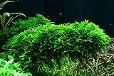 *Tropica Aquarium Pflanze Moos Vesicularia dubyana 'Christmas Nr.003ATC in Vitro 1-2 Grow Wasserpflanzen Aquarium Aquariumpflanzen