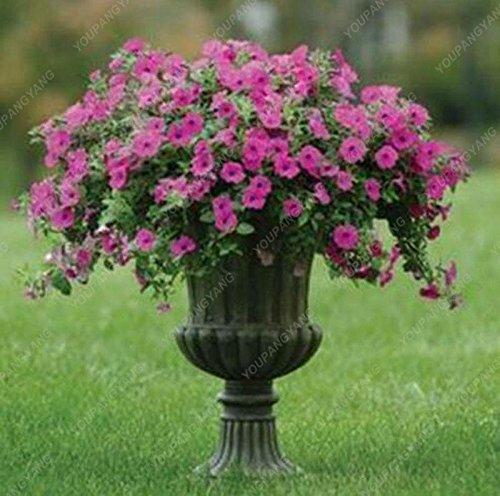 200 Graines Petunia Hanging rares Graines d'ornement fleur noire yeux fleur pourpre avec bord blanc jardin Plantes vertes