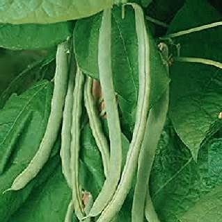 Heirloom Missouri Wonder Pole Bean Seeds. Yields Several Pounds Per Plant. Hard to Find