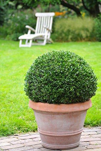 Ilex Dark Green® - Ilex crenata - Stechpalme Winterbeere Buchsbaum-Ersatz dunkel-grün schnittverträglich winterhart - Hecken-Pflanze von Garten Schlüter (ø15-20 cm Pflanze) - Pflanzen in Top Qualität