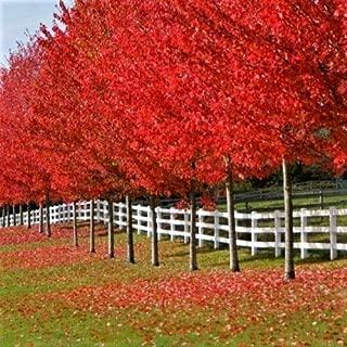 10 Autumn Blaze Maple Tree Cuttings Grow Your Own Trees Ald002
