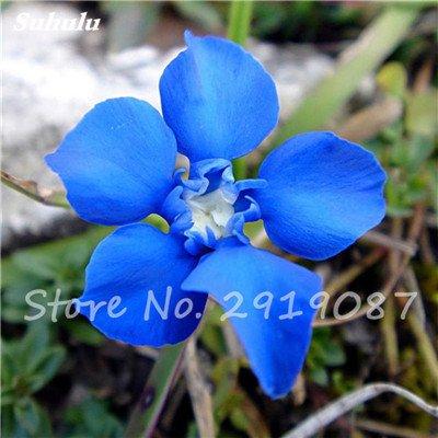 De haute qualité bonsaïs 100 Pcs Largeleaf gentiane Graines vivace Fleur bleue Graine Blooming Plantes Diy jardin Ménage 6