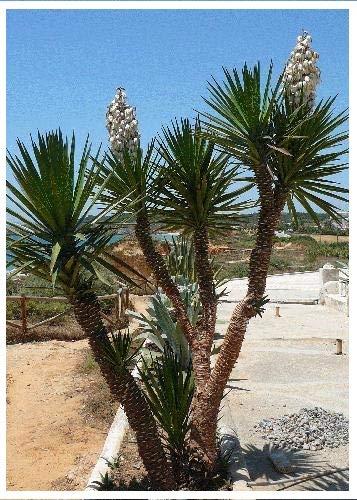 TROPICA - Yucca gigantea (Yucca elephantipes syn. gigantea) - 10 graines- Méditerranée
