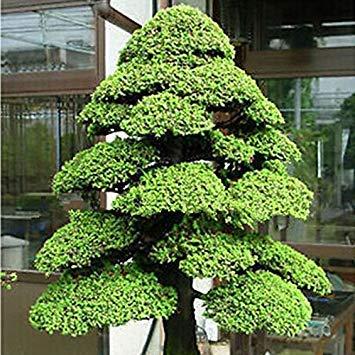 GEOPONICS Meistverkauft! 30PCS 'Green Jewel' Echinacea-Samen, Sonnenhut Bonsai sät DIY Hausgarten