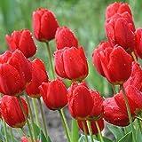Tulip Bụlbs Red 5-100 Big BulbsBulk - Red Impression Tulip