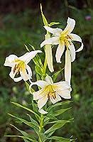 カサブランカ 球根,家に適しています,花束は素晴らしいです,中庭を飾ることができます、花はすべて絶妙な色です-2,7球根
