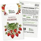 Erdbeeren Samen: Premium Erdbeer Samen für ca. 50 kleine Balkon Erdbeeren Pflanzen zur Aussaat – Balkon Garten Samen zum Pflanzen – Obst Samen und Erdbeerpflanzen Saatgut – Pflanzensamen von OwnGrown