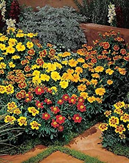 Marigold-French Disco Mix 1,000 Seeds Need More? Ask