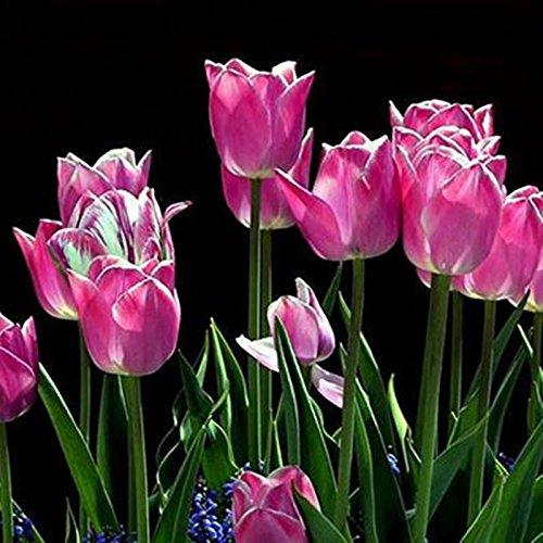 Vente chaude! graines Tulip, Tulipa gesneriana, des plantes en pot, les saisons de plantation, les plantes à fleurs 20 graines / paquet