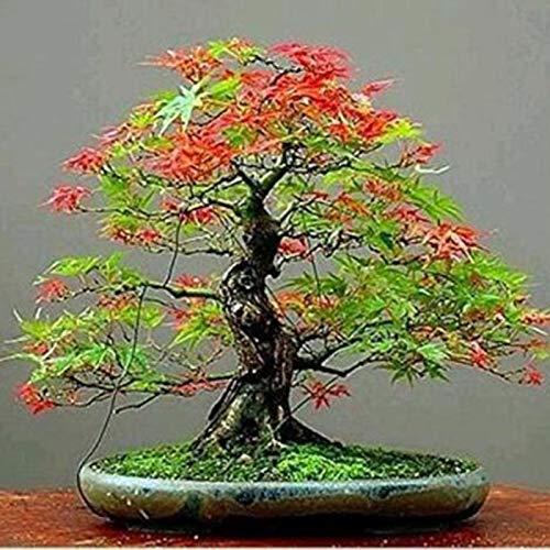 30 semillas de árbol de arce, color brillante, fácil de cultivar, decoración de bonsái, multicolor, semillas de árbol de arce para mujeres, hombres, niños, principiantes, jardineros regalo