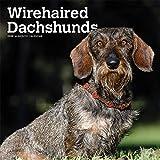 Wirehaired Dachshunds - Rauhhaardackel 2020 - 16-Monatskalender mit freier DogDays-App: Original BrownTrout-Kalender [Mehrsprachig] [Kalender] (Wall-Kalender) - BrownTrout Publisher