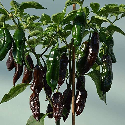 SANHOC Samen-Paket: Pfeffer-Paprika - Machu Pichu - 6 SeedsSEED