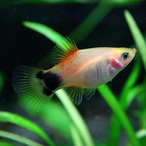 (熱帯魚)ゴールデンミッキーマウスプラティー(約3-4cm)<6匹>[生体]