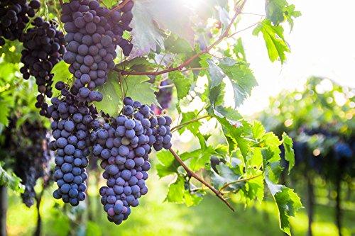 Weintraube Regent Vitis Weinrebe Weintrauben Wein knackig süß blau 60-100 cm im 2 Liter Topf