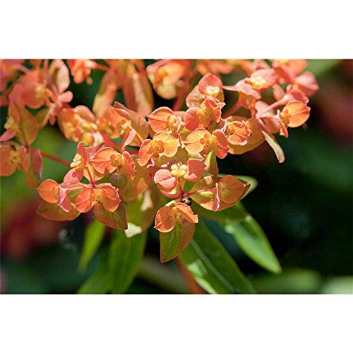 Euphorbia amygdaloides 'Purpurea' - Mandelblättrige Garten-Wolfsmilch 'Purpurea' - 9cm Topf