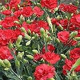 発芽種子:カーネーションの花の種 - RED - 美しい - バルク