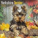 Yorkshire Terrier Puppies - Yorkshire Terrier Welpen 2021 - 16-Monatskalender mit freier DogDays-App: Original BrownTrout-Kalender [Mehrsprachig] [Kalender] (Wall-Kalender)