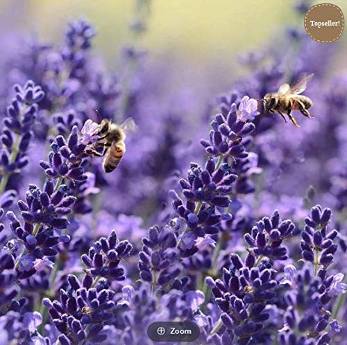 Qulista Samenhaus - 20/50pcs Duftend Erstklassige Lavendel Angustifolia 'Hidcote Blue' Bienenmagnet Sommer Blumensamen Blau frosthart mehrjährig