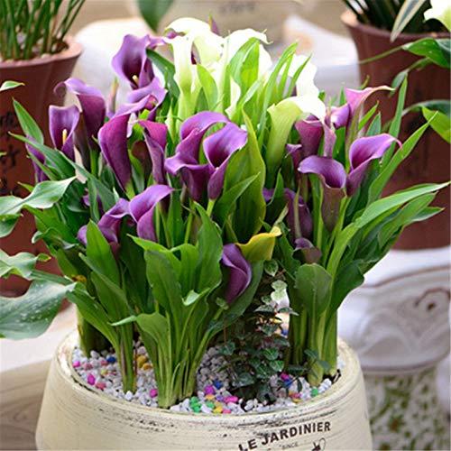 オランダカイウ球根 スタイリッシュな花 非常に良い成長 友達に送ることができます 特に植える価値がある 植物の球根 庭の装飾 魅力的な香り 奇妙な花 バルコニーを飾る-5球根