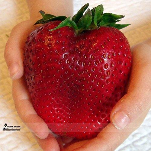 Heirloom super géant plus rare au Japon Rouge Fraises Graines bio, Paquet professionnel, 100 graines / Paquet, doux fruit juteux E3063