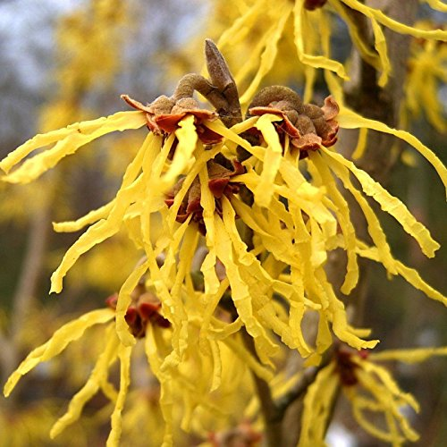 CHINESE Zaubernuss Hamamelis Mollis - 8+ SEEDS
