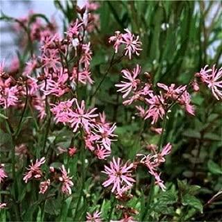 100 Ragged Robin Pink Purplish Lychnis Flos Cuculi Flower Seeds for Planting Outdoor #SFB