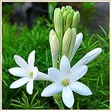 Impresionantes plantas ornamentales,Planta decorativa mágica,Flores aromaticas,Bulbos de nardo-5 Bulbos