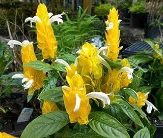1 Pachystachys Lutea Golden Shrimp Plant Live Plant