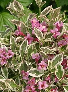1 My Monet Purple Effect Weigela - 4