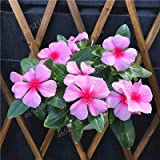 Importati 100 pc Misti Piante Pervinca Bonsai Fiore Vinca Copri Jardin Blooming Flore Vaso Mini Garden Facile da Coltivare: 8