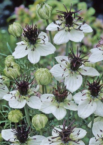 Tropica - SK-Schwarzweiß Blume (Nigella papillosa African Bride) - 320 Samen