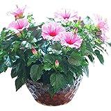 Hibiscus Luna Blumensamen 20+ (Hibiscus moscheutos Linn) Rose von Sharon, China Rose, verrückte Bio-Samen für Boncai Hausgarten Outdoor Yard Farm Planting