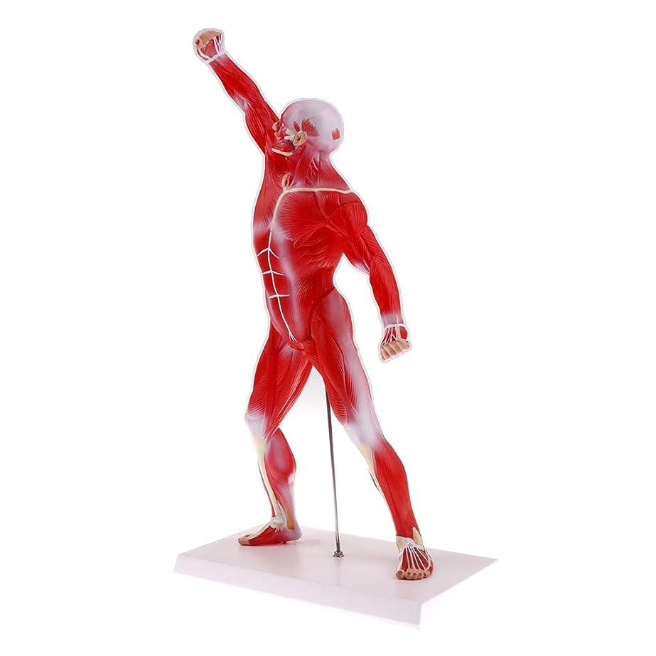 以降置き場深遠F Fityle 人体筋肉解剖図モデル 解剖モデル 医学教育ツール ディスプレイ 学校教材 展示模型