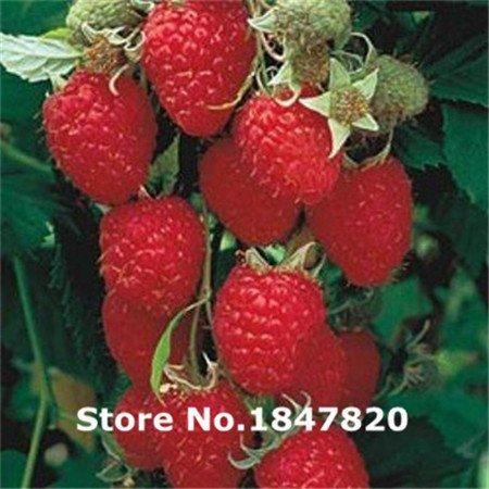 AAA 2016 Graines de framboises rares, 10 sortes 100 Couleurs Mix Friut Seeds, le taux élevé de survie pour la maison et le jardin.