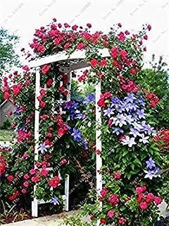 2 Los Verdaderos Bulbos, Clematis (no Seeds), bulbos de Flores Escalada al Aire Libre Jardín de Plantas perennes Flores Clematis bulbosa Root 6
